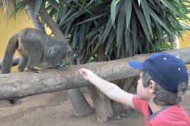 Un enfant nourrit un lémurien
