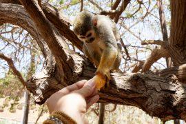 Un lémurien mange une mandarine
