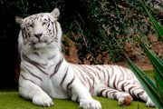 Joli tigre blanc