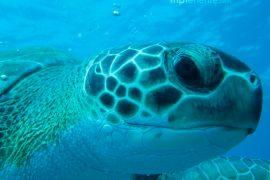 Grosse tortue qui vous regarde