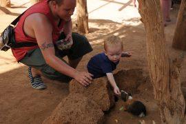 Cochon d'Inde avec un enfant